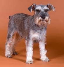 schnauzer dog pictures