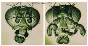 mutant drosophila