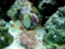 salt water snails