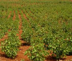 jatropha farming