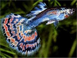 male guppy fish