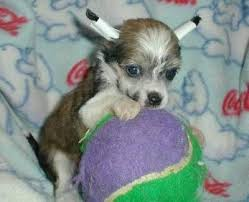 chinese crested pups