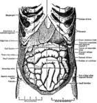 internal organs chart