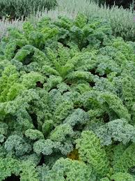 kale pictures
