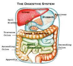 digestive system colon