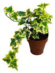 english ivy houseplant