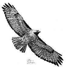 drawing of hawk