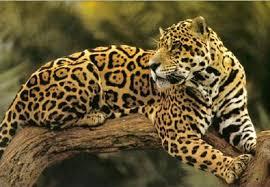 jaguar endangered