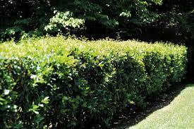 ligustrum shrubs