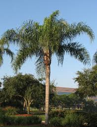 cocos palm