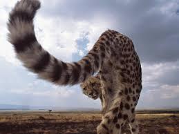cheetah tail