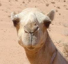camel photos