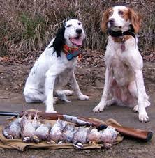bobwhite quail hunting