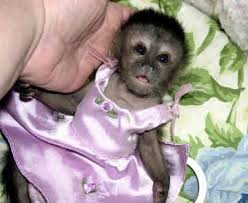 capuchin monkey pictures