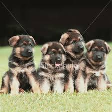 german pups