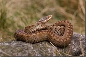 aussie snakes
