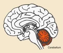 cerebellum pics