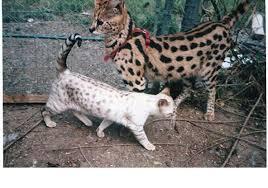 desert lynx kittens