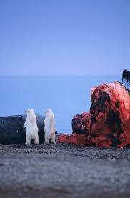 polar bears feeding