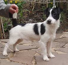 jack russell dog breeds