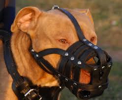 pitbull muzzle