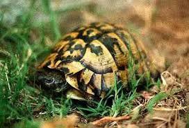 herman turtle