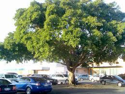 fig tree gallery