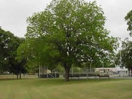 pecan nut trees