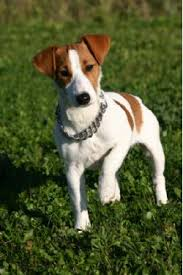 jack russell breed
