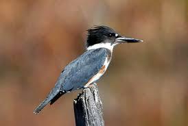 belted kingfisher bird