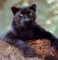 panthers big cats
