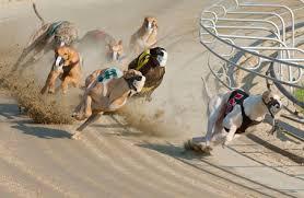 greyhound racing photos