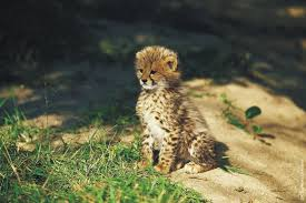 cheetah cub photos