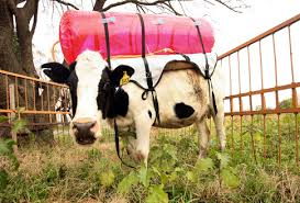 inflatable cows