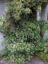 hydrangea petiolaris climbing hydrangea