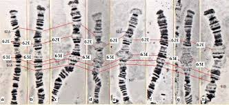 drosophila chromosome