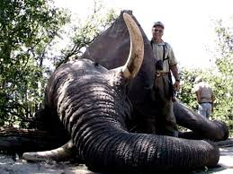 african elephant hunting