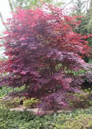 bloodgood maple trees