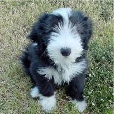 bearded collie pics
