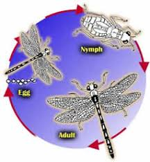 dragonfly life cycle diagram