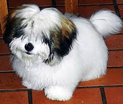 cotton dog breed