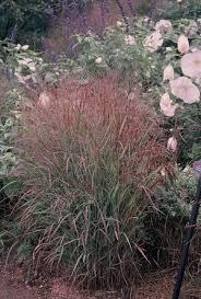 red switch grass