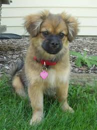 pekingese cross
