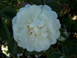 Rosa x alba 'Alba Semiplena' /