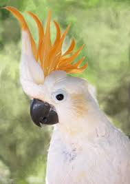 cockatoo pictures