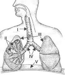 desenho do sistema respiratorio