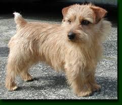 norfolk terrier dogs