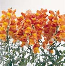 orange snapdragons