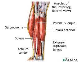 leg muscles names