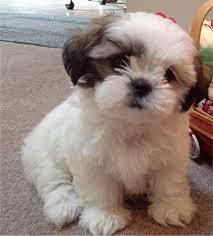 chinese pug puppies